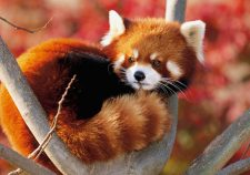 Red panda Full hd wallpapers