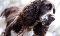 Russian Spaniel Full hd wallpapers