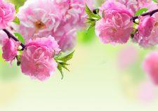 Sakura flower Full hd wallpapers