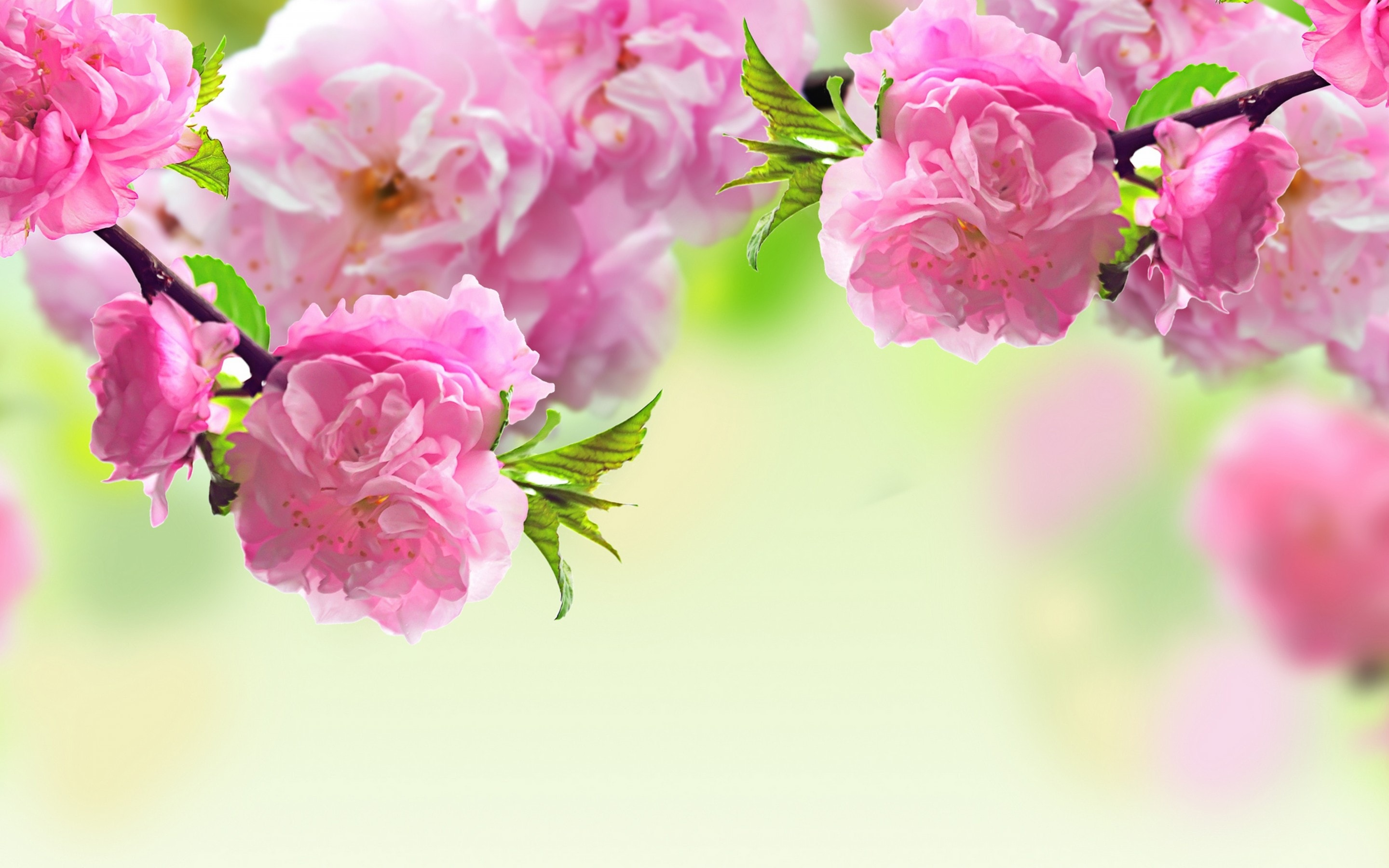 sakura flower hd desktop wallpapers | 7wallpapers
