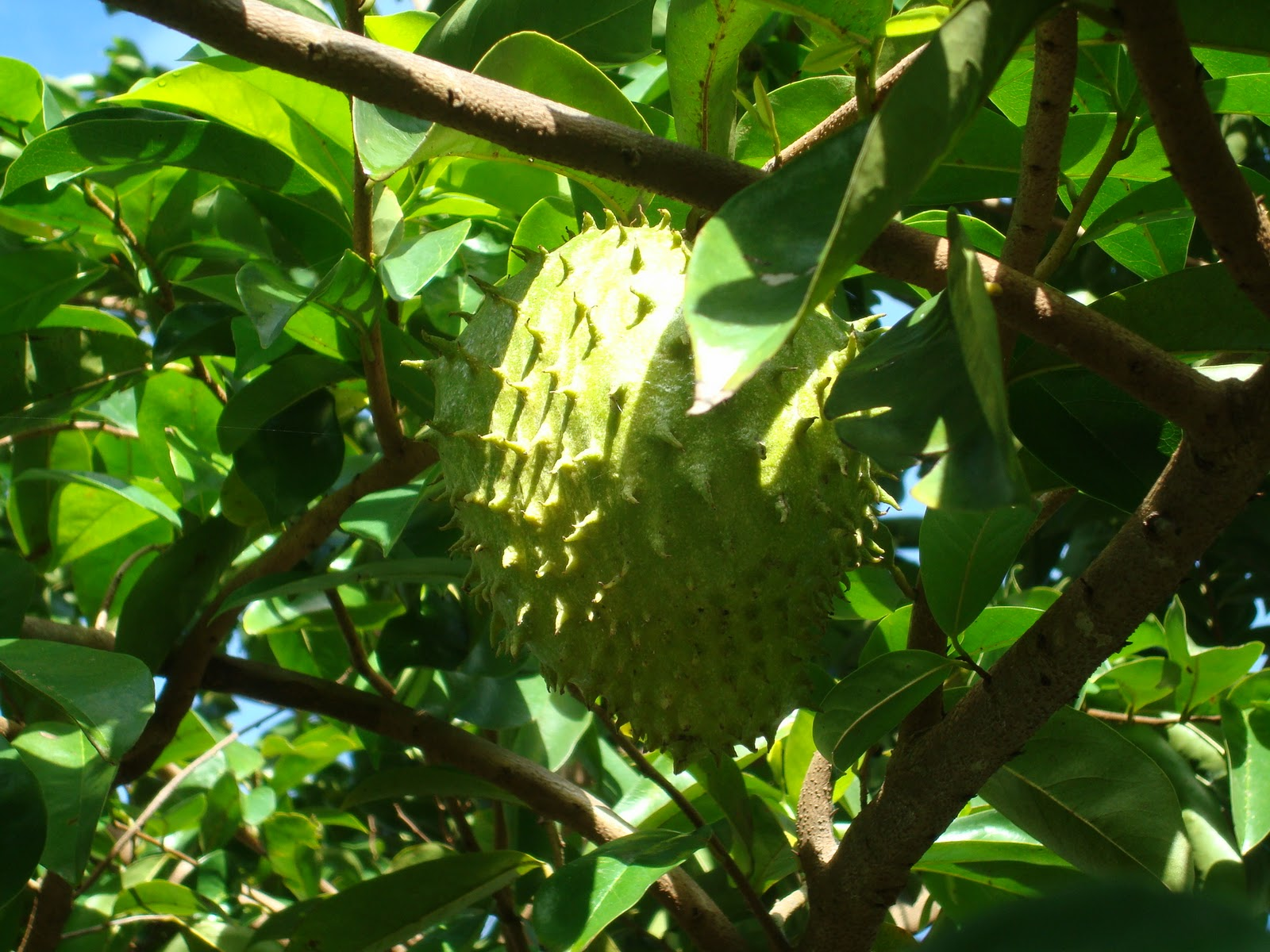 Soursop full hd wallpapers