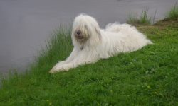 South Russian Sheepdog Full hd wallpapers