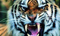 Tiger full hd wallpapers