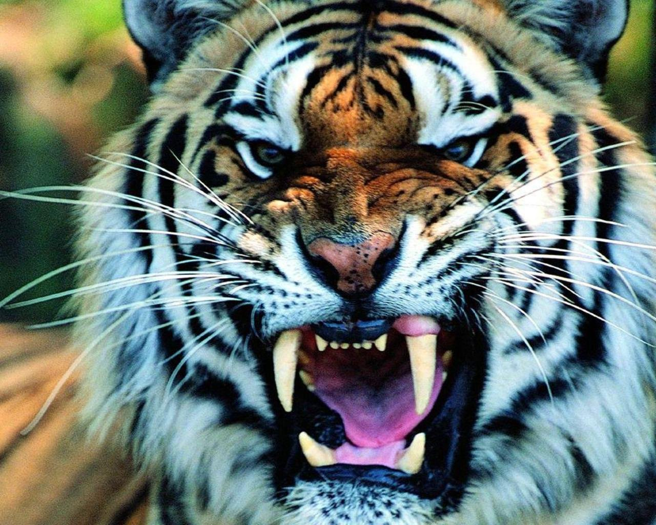 Tiger full hd wallpapers
