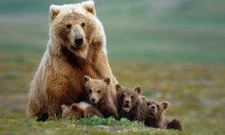 Bear HD pics