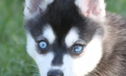 Alaskan Klee Kai Full hd wallpapers