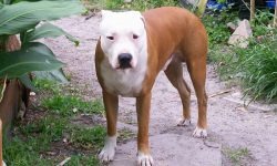 American Pit Bull Terrier Full hd wallpapers