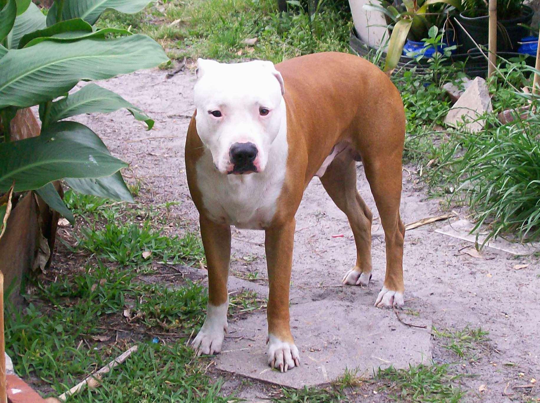 American Pit Bull Terrier Full hd wallpapers