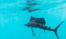 Atlantic sailfish For mobile