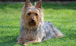 Australian Silky Terrier For mobile