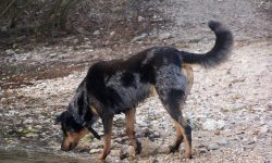 Beauceron For mobile