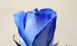 Blue Rose For mobile
