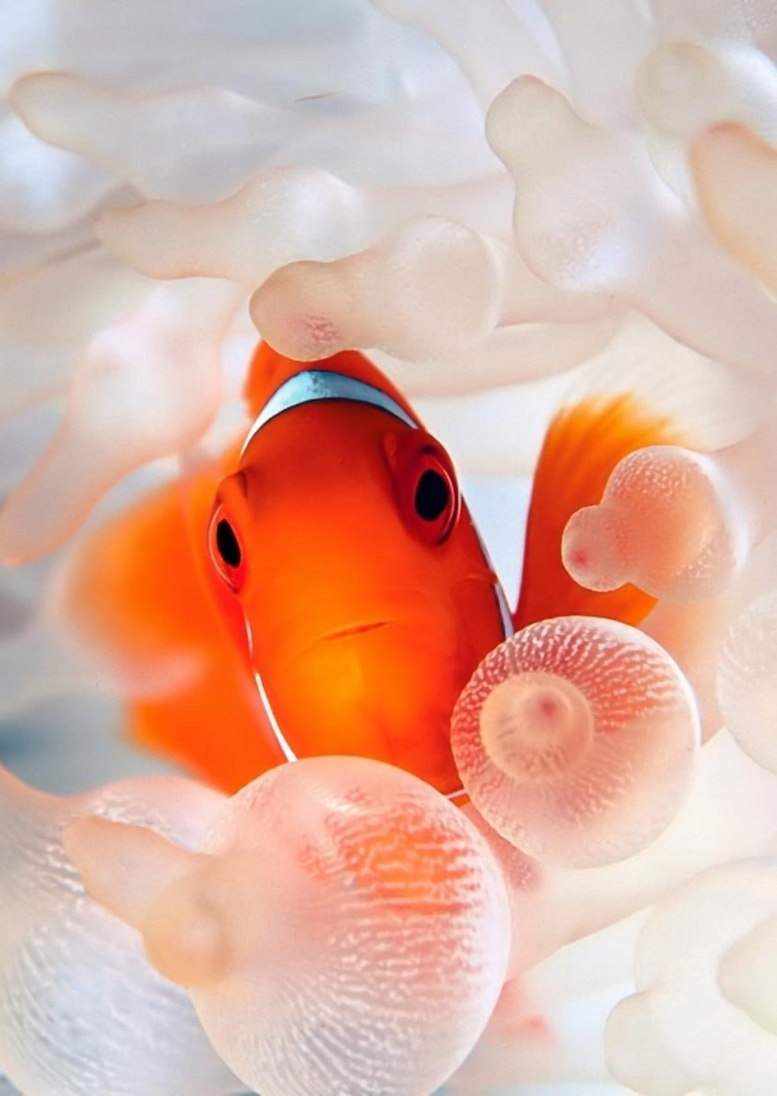 Clownfish For mobile