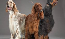 English setter Full hd wallpapers