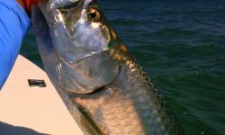 Fighting tarpon For mobile