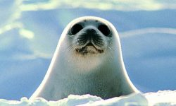 Harp seal For mobile