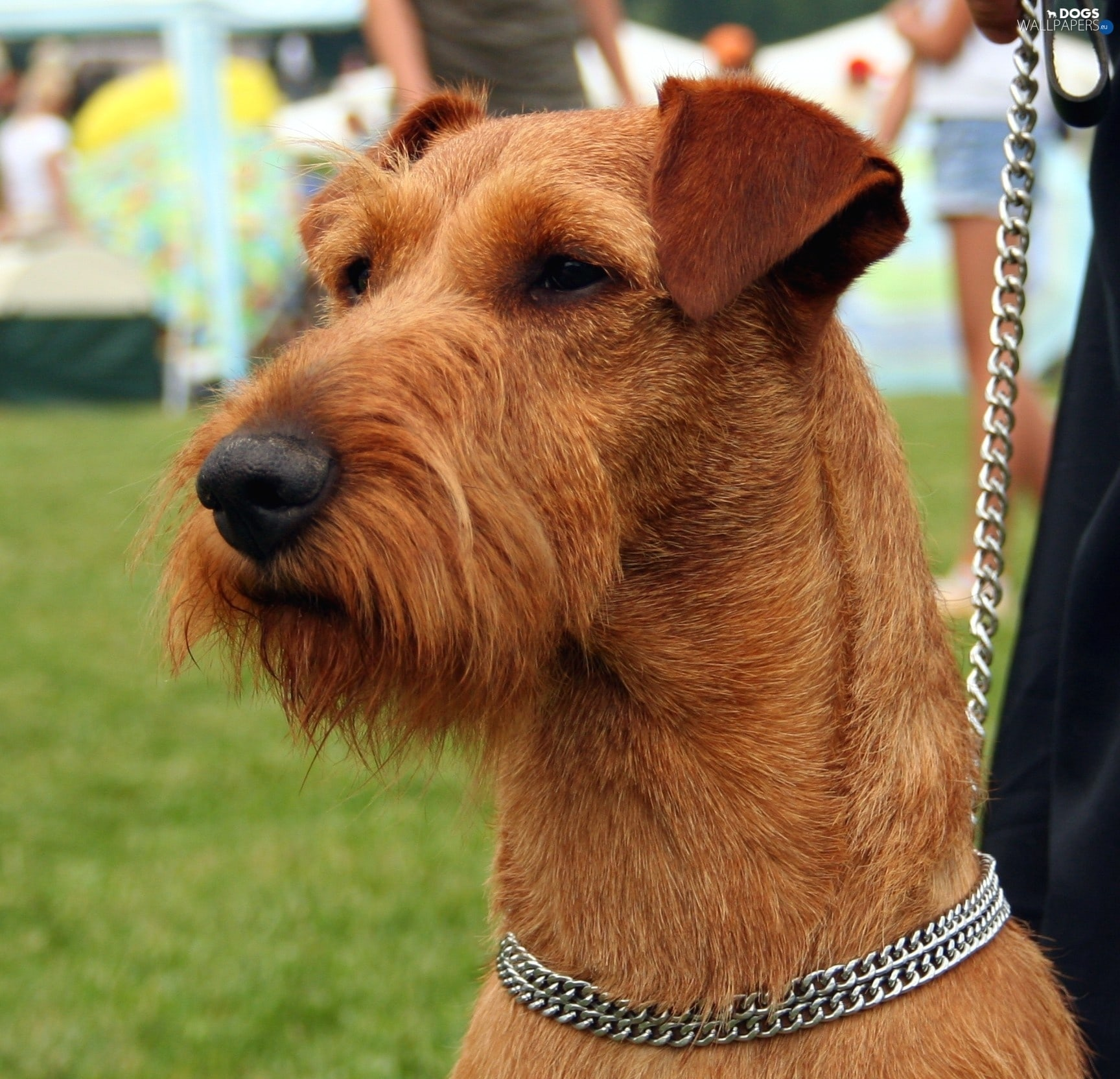 Irish Terrier Full hd wallpapers