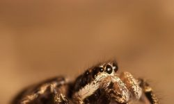 Jumping spider For mobile