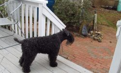 Kerry Blue Terrier For mobile