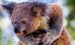 Koala For mobile