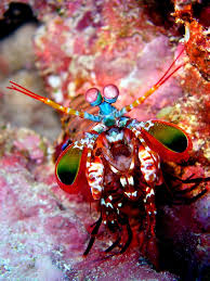 Mantis Shrimp For mobile