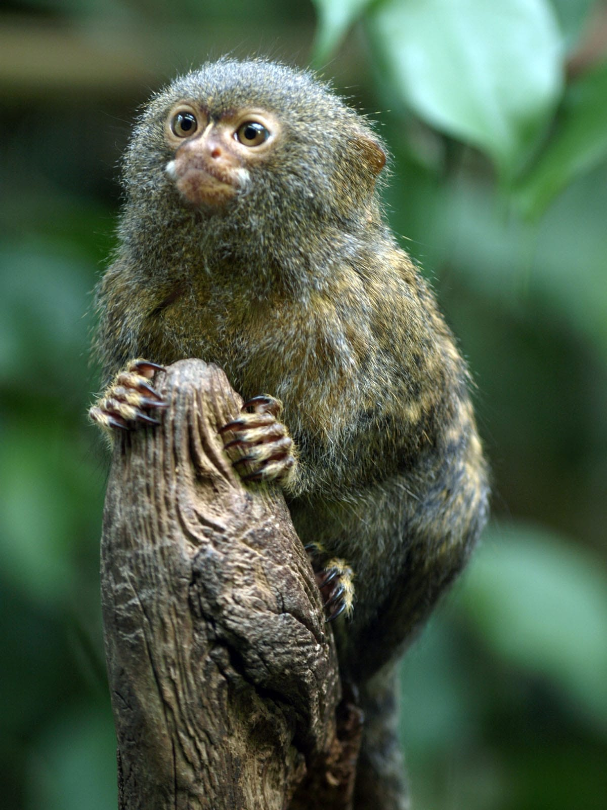 Marmoset monkey For mobile