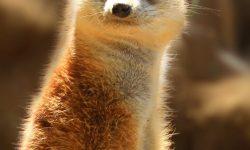 Meerkat For mobile