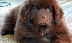 Newfoundland Dog For mobile