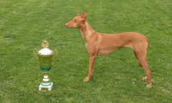 Pharaoh hound Widescreen for desktop