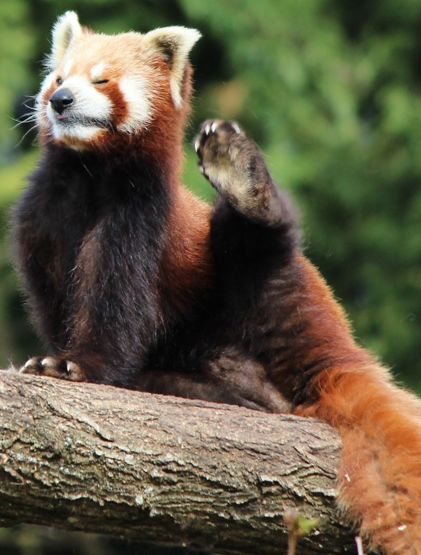 Red panda For mobile