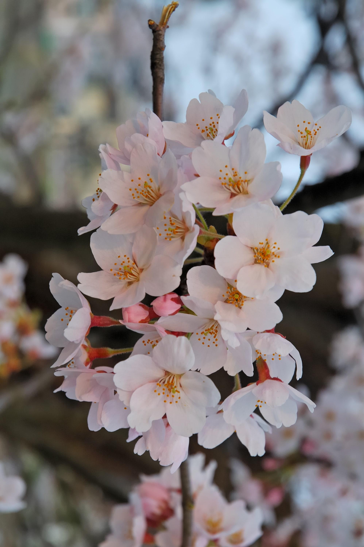 Sakura flower For mobile