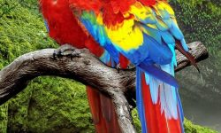 Scarlet macaw For mobile