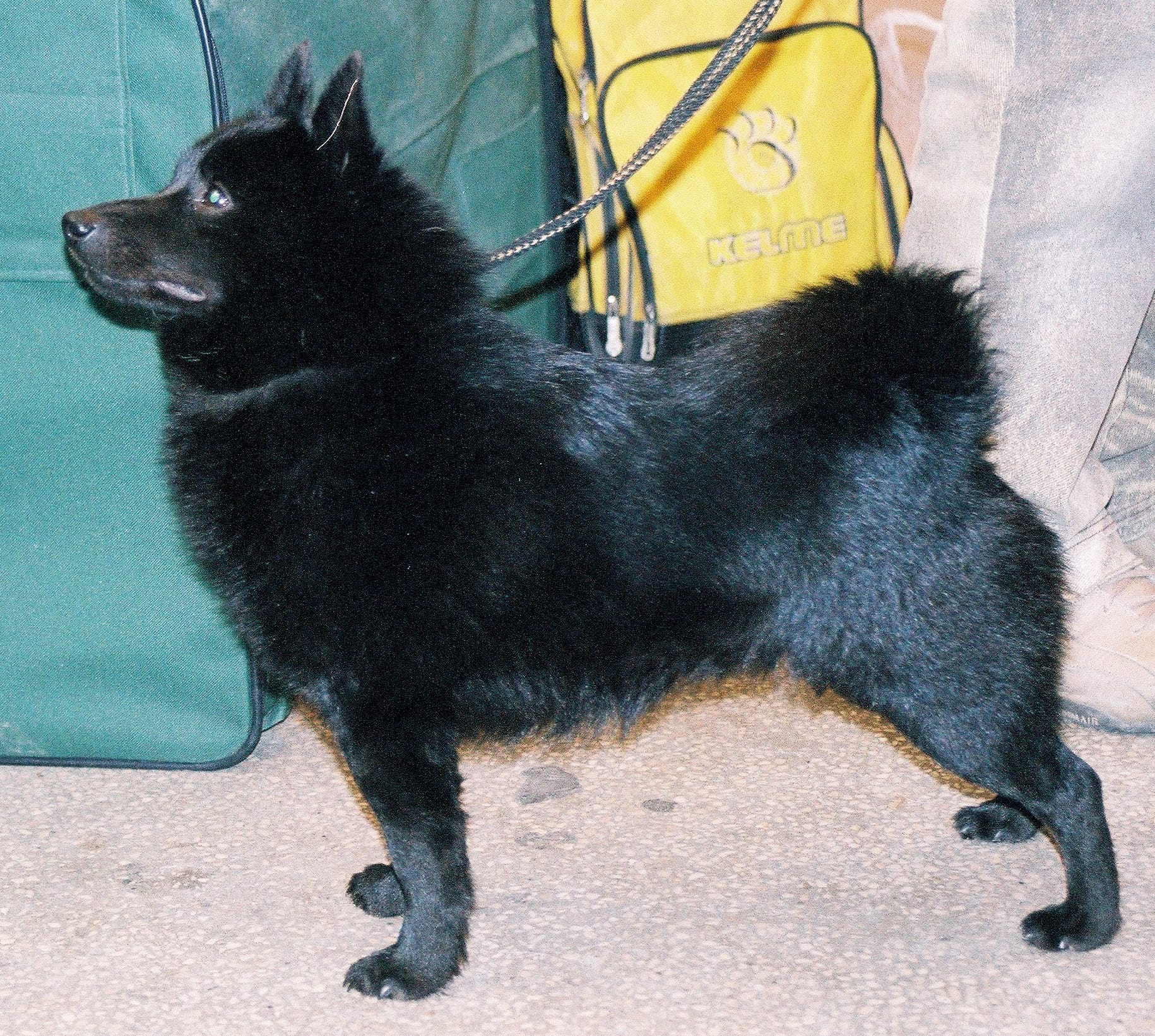 Schipperke Full hd wallpapers