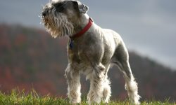 Schnauzer Full hd wallpapers