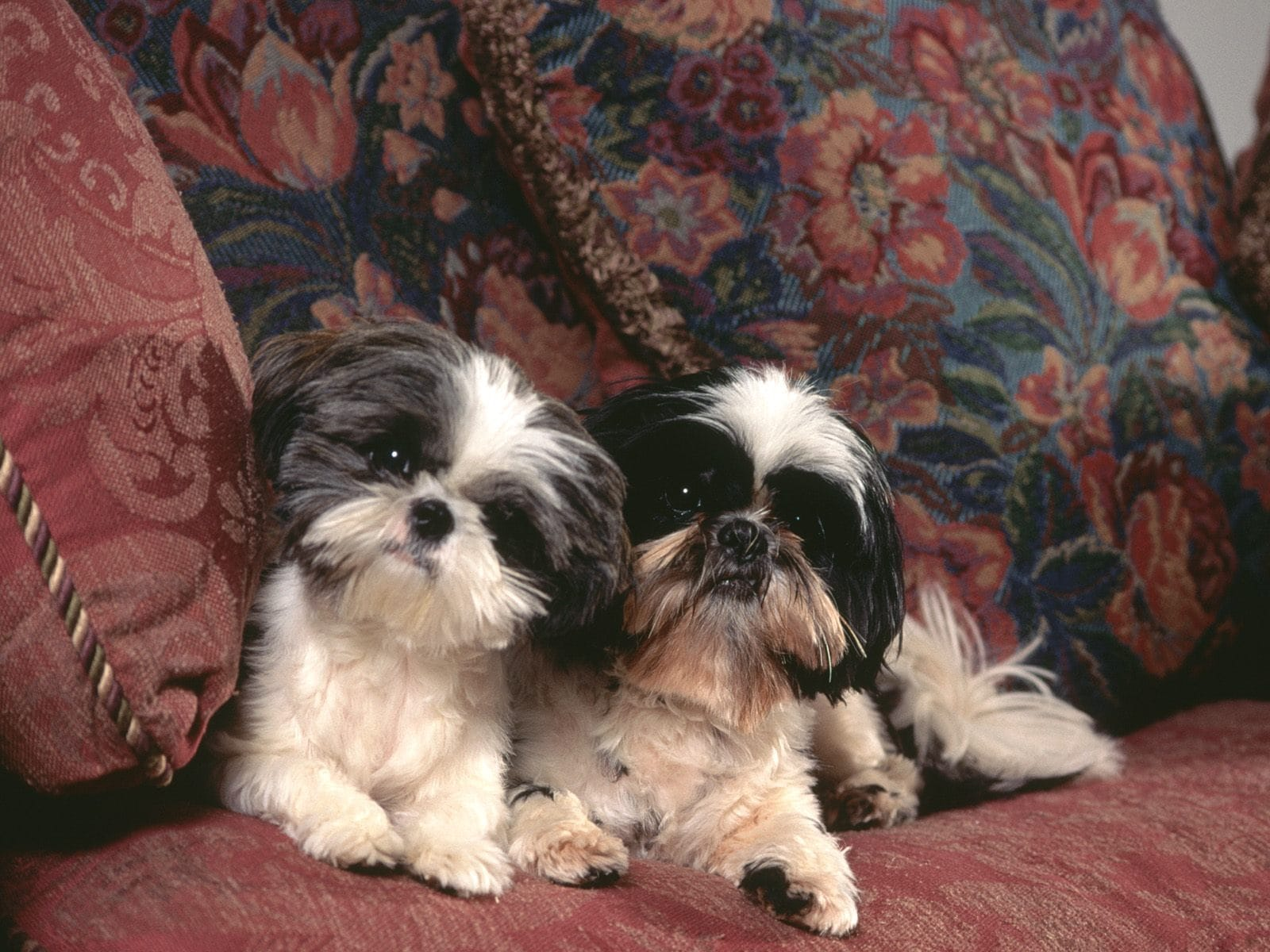 Shih Tzu Full hd wallpapers