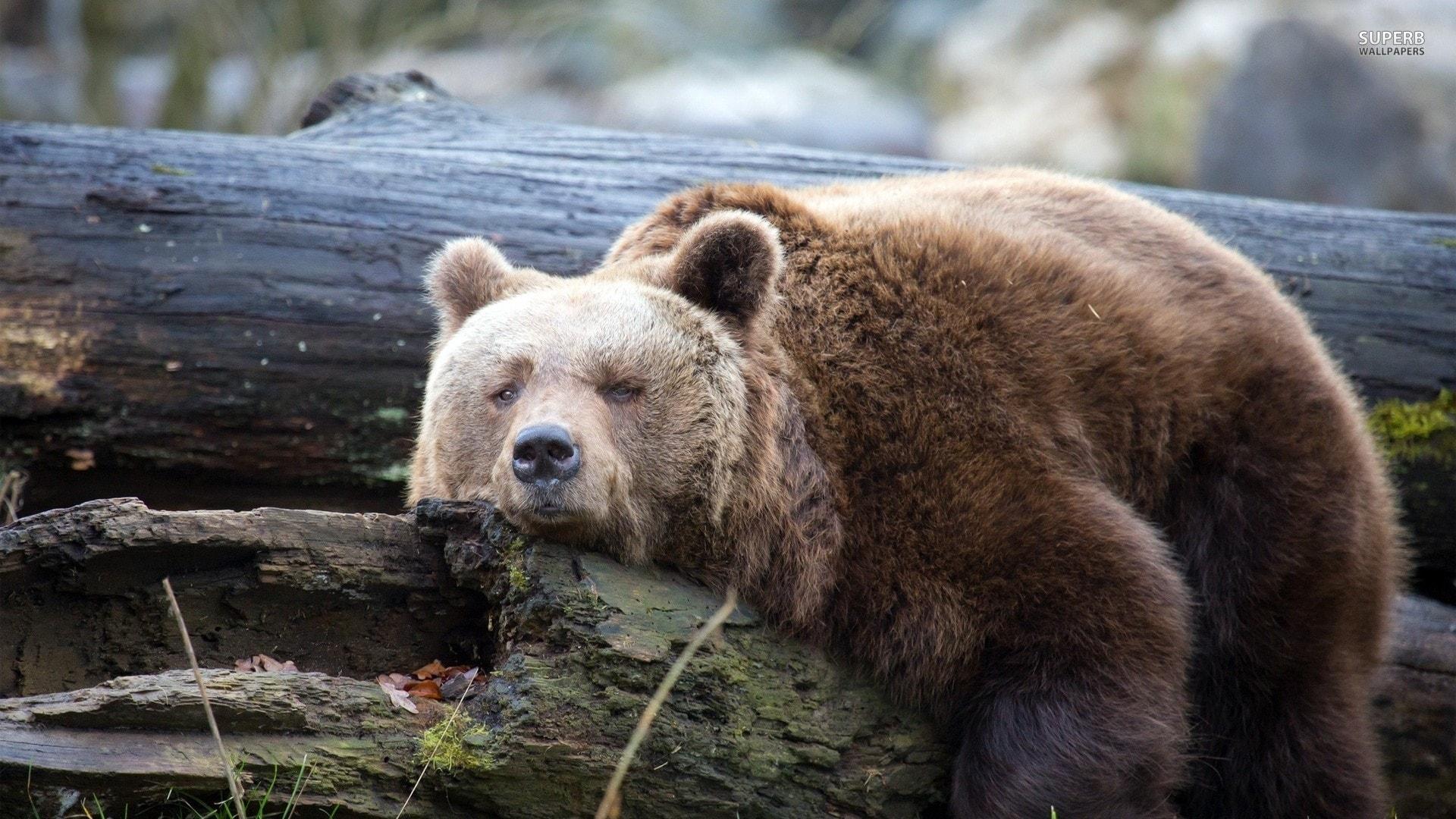 Bear wallpapers hd