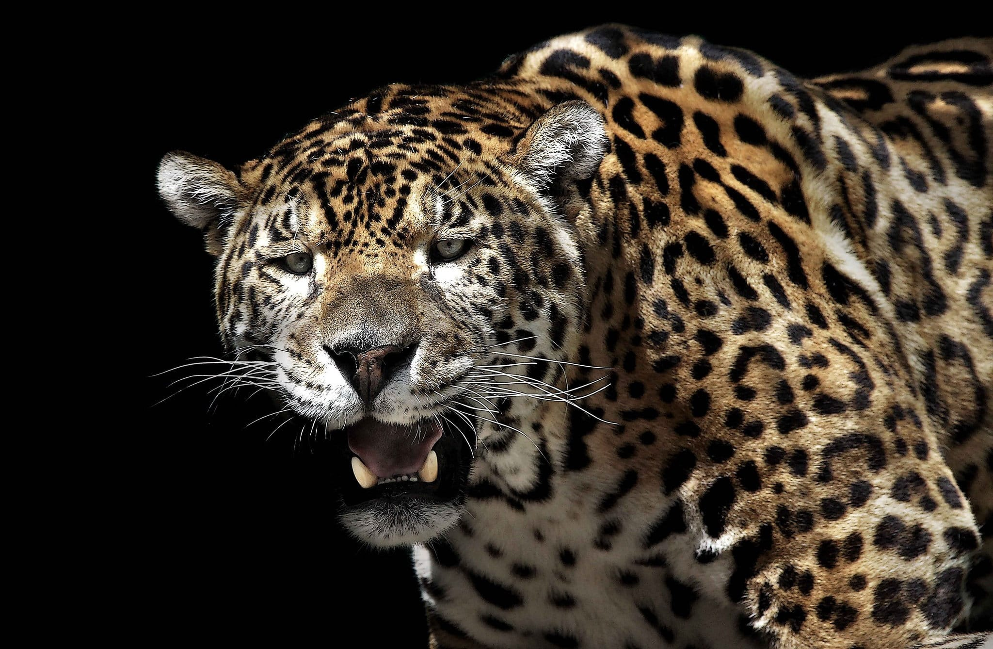 Jaguar backgrounds
