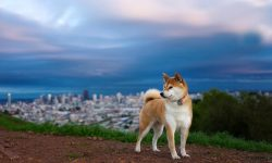 Akita Inu Widescreen for desktop