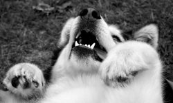 Alaskan Malamute Widescreen for desktop