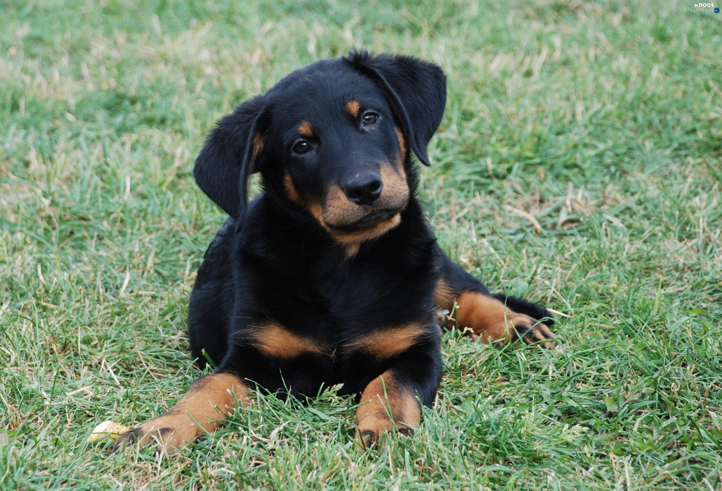 Beauceron Widescreen for desktop