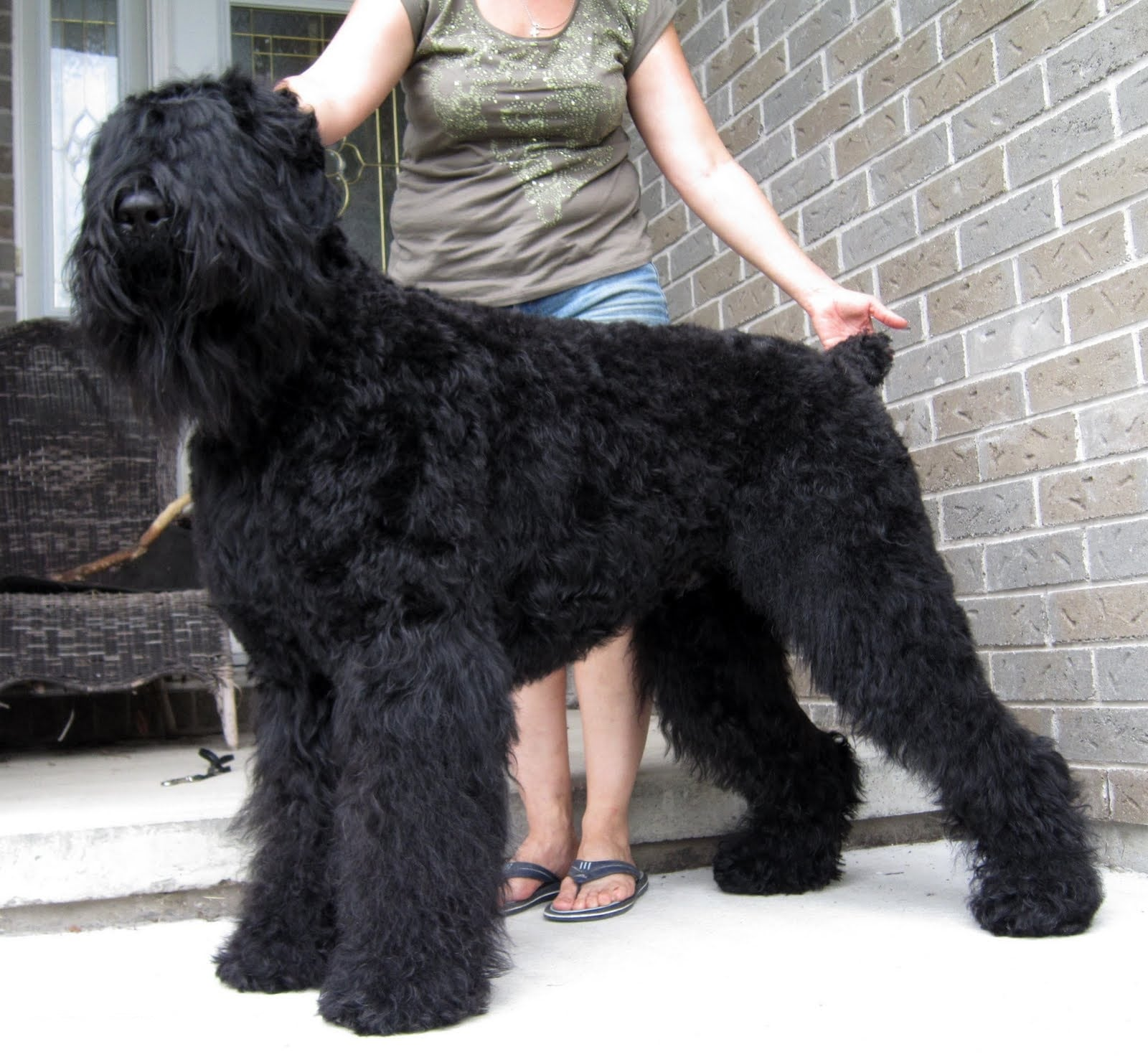 Black Russian Terrier Backgrounds