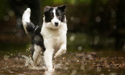 Border Collie Backgrounds
