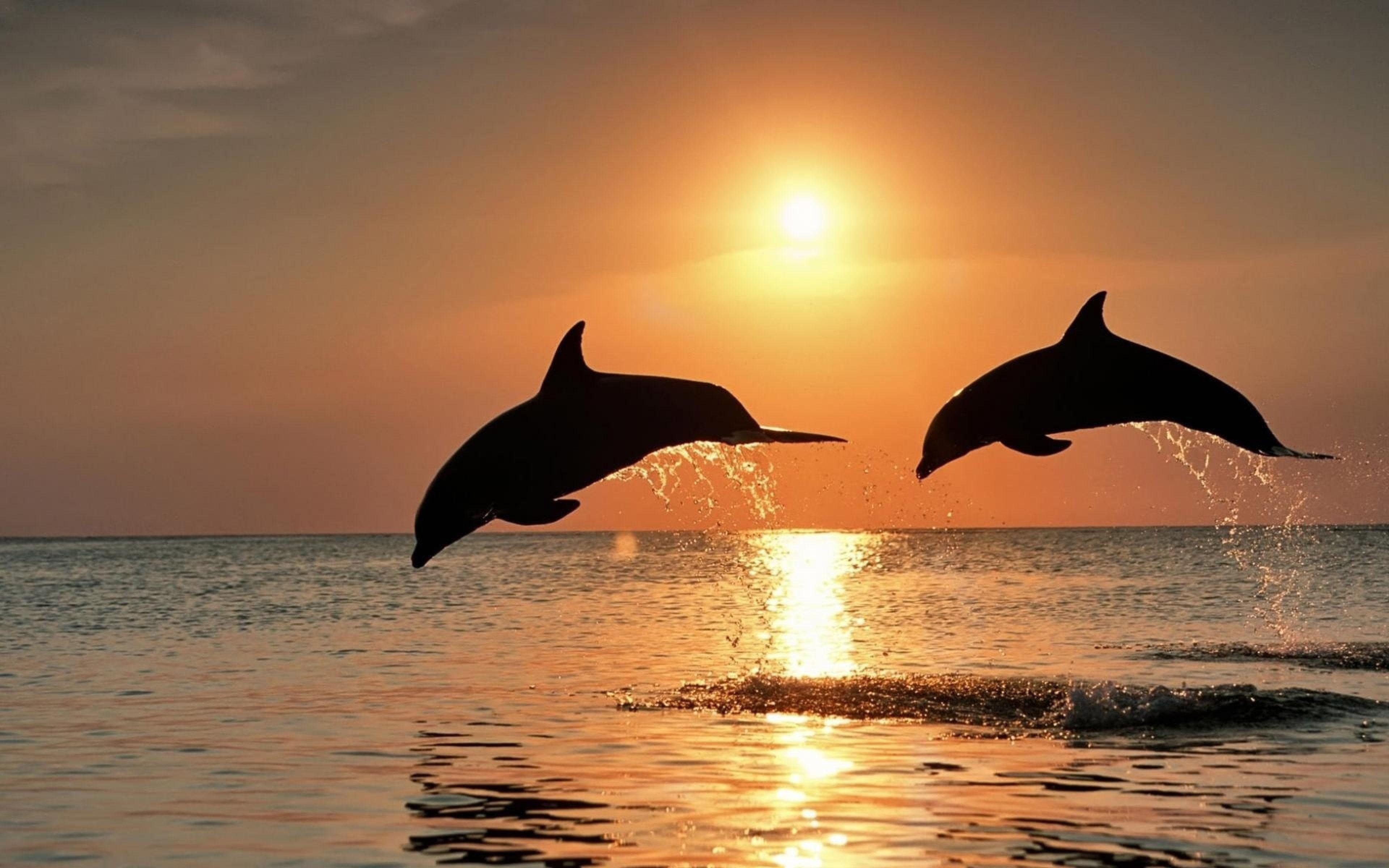 Bottlenose dolphins Widescreen for desktop