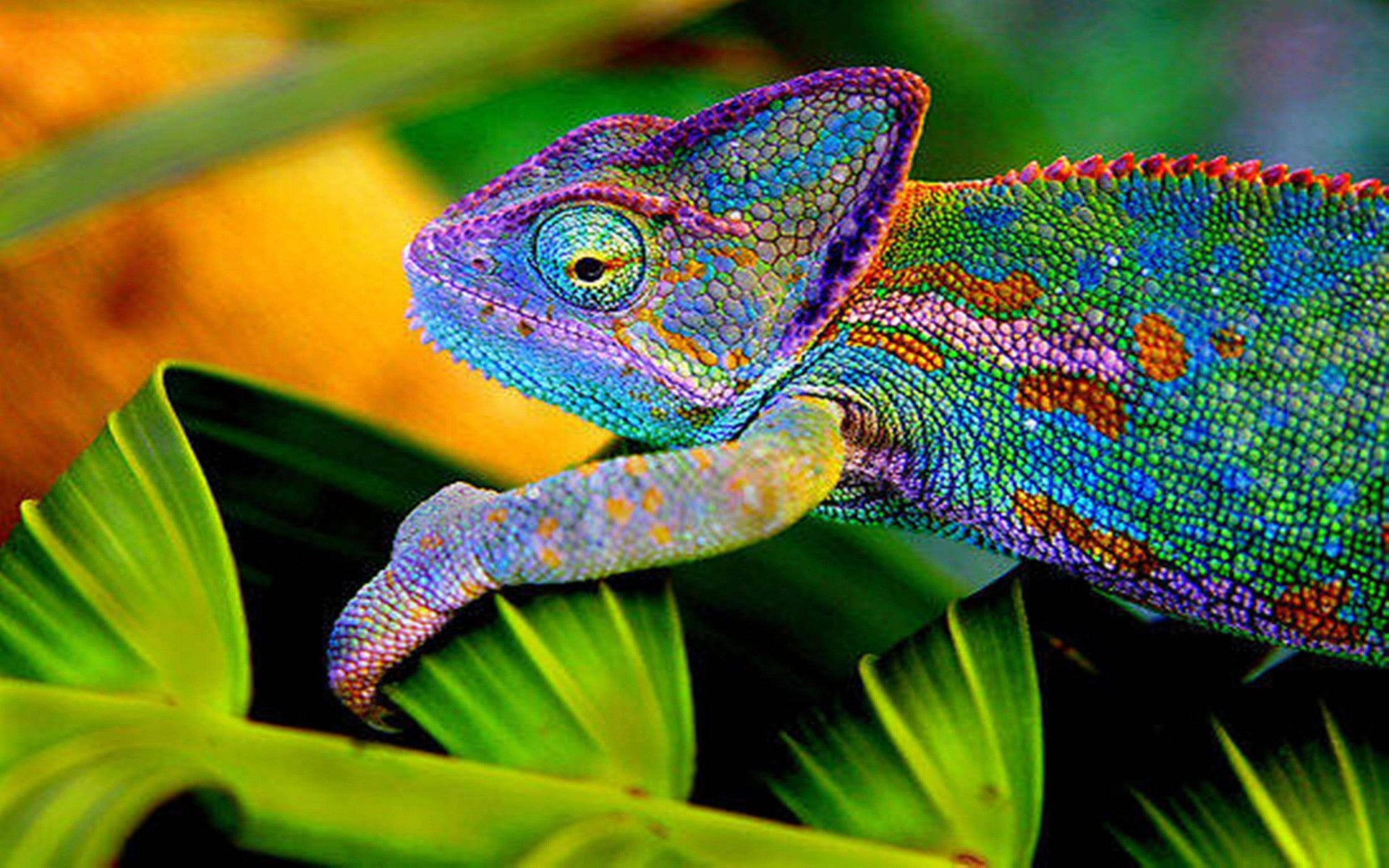 Chameleon Widescreen for desktop