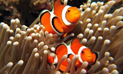 Clownfish Widescreen for desktop