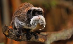 Emperor Tamarin Widescreen for desktop