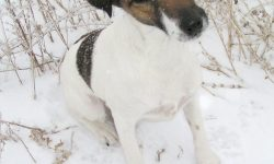 Fox Terrier High