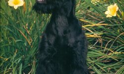Giant Schnauzer For mobile