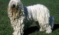 Komondor Full hd wallpapers