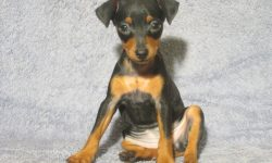Miniature Pinscher Widescreen for desktop
